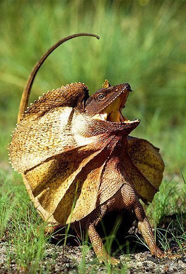 frilled-lizard.jpg